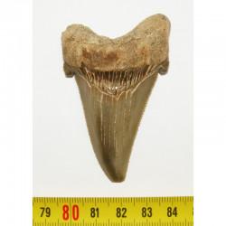 dent de requin Angustiden ( 6.9 cms - 056 )