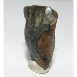 dent de Triceratops  ( dinosaure  - 025 )