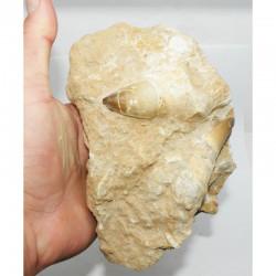 Dents de Mosasaurus Anceps sur matrice  ( dinosaure - 119 )
