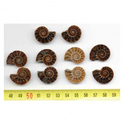 lot de 5 Ammonites de Madagascar Sciées et polies  ( 006 )