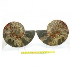 Ammonite de Madagascar Sciée et polie ( 500 grammes - 020 )