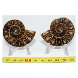 Ammonite de Madagascar Sciée et polie  ( 70 grammes - 030 )