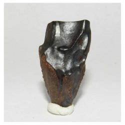 dent de Triceratops  ( dinosaure  - 021 )