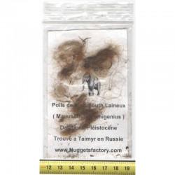veritable poils de Mammouth laineux ( 006 )