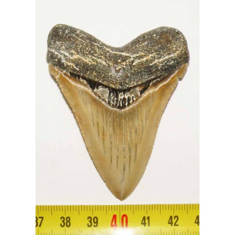 dent de requin Carcharocles chubutensis ( Faluns - 7.0 cms - 004