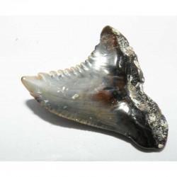 dent de requin d Hemipristis serra  ( Faluns - 3.4 cms -  013 )