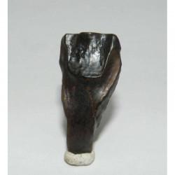 dent de Triceratops ( dinosaure - 002 )