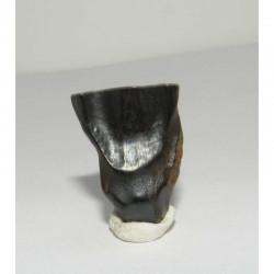 dent de Triceratops ( dinosaure - 020 )