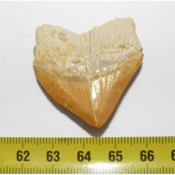 dent de requin Squalicorax Pristodontus ( 3.8 cms - 027 )