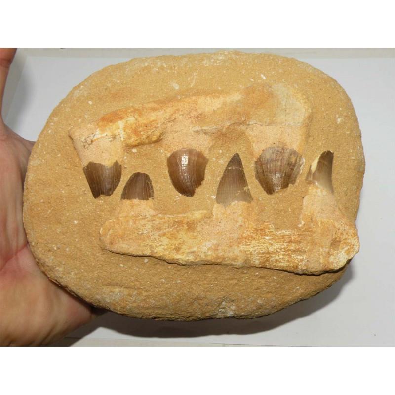 Dents de Mosasaurus Anceps sur matrice ( dinosaure - 144 )