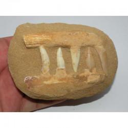 Fossiles sur matrice d Enchodus Lybicus  ( 053 )
