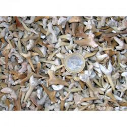 1/2 kilo de dents de requins fossiles ( Maroc - 003 G )