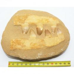 Dents de Mosasaurus Anceps sur matrice ( dinosaure - 151 )
