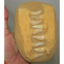 Fossiles d Enchodus Lybicus sur matrice  ( 063 )