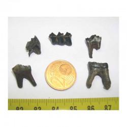 5 dents de chevreuil prehistorique ( 005 )