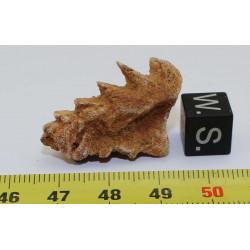 1 dent de poisson Ceratodus...