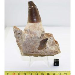Dents de Mosasaurus Anceps...