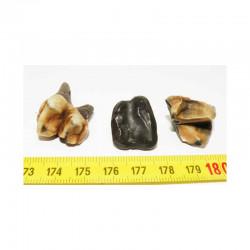3 dents de Tapir prehistorique ( 007 )