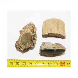 3 Fossiles de Megatherium prehistorique ( 002 )