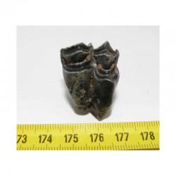1 dent de Lama ou Chameau prehistorique ( 010 )