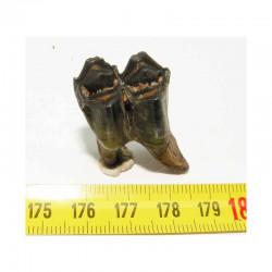 1 dent de Lama ou Chameau prehistorique ( 006 )