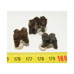 3 dents de chevreuil prehistorique ( 002 )