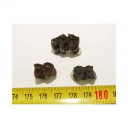 3 dents de chevreuil prehistorique ( 003 )
