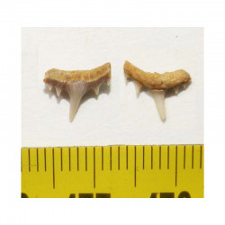 1 dent de requin Synechodus lerichei  ( 005 )