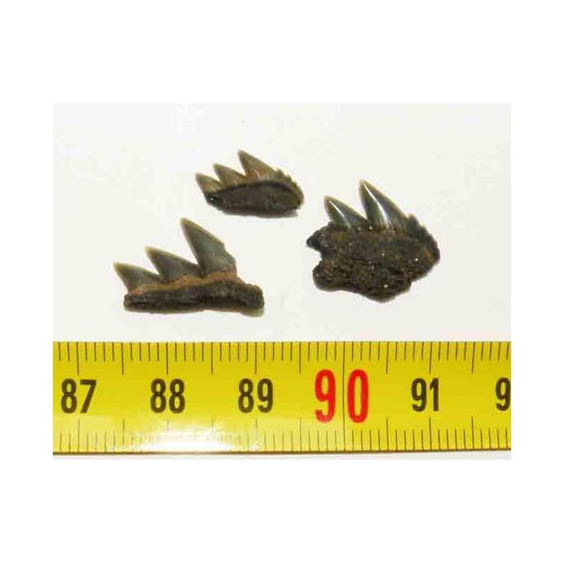 3 dents de requin Notorynchus primigenius ( Pays Bas - 002 )