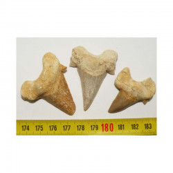 3 dents Fossiles de requin Lamna Obliqua ( 004 )