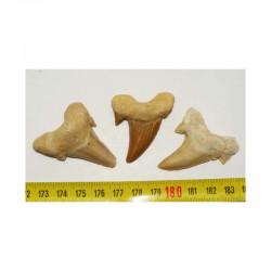 3 dents Fossiles de requin Lamna Obliqua ( 005 )
