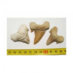3 dents Fossiles de requin Lamna Obliqua ( 006 )