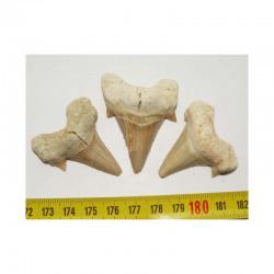 3 dents Fossiles de requin Lamna Obliqua ( 014 )