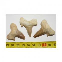 3 dents Fossiles de requin Lamna Obliqua ( 011 )
