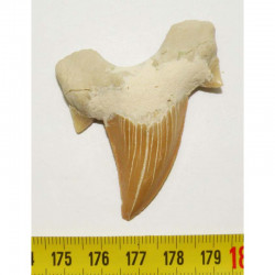 dent Fossile de requin Lamna Obliqua ( 5.8 cms - 017 )