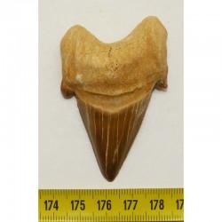 dent Fossile de requin Lamna Obliqua ( 6.6 cms - 020)