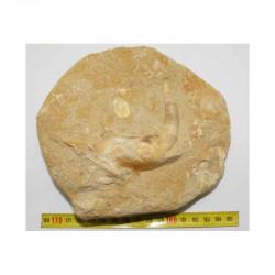 Fossiles d Enchodus Lybicus préhistorique (  005 )