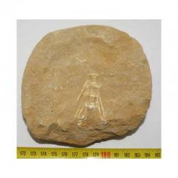 Fossiles de Stratodus Apicalis préhistorique (  004 )