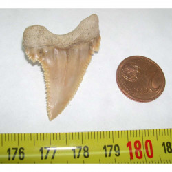 dent de requin Palaeocarcharodon orientalis ( 4.0 cm - 036 )