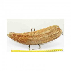 Corne de Bison prehistorique ( 030 )