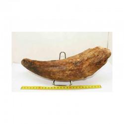 Corne de Bison prehistorique ( 036 )