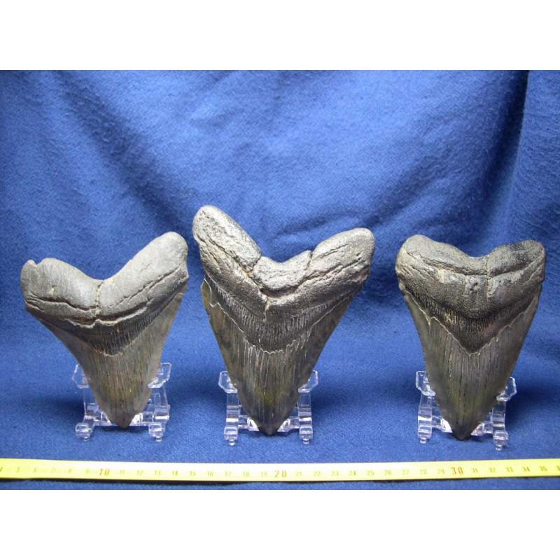 3 presentoirs pour dent de requin et megalodon