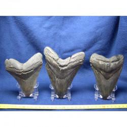 6 presentoirs pour dent de requin et megalodon
