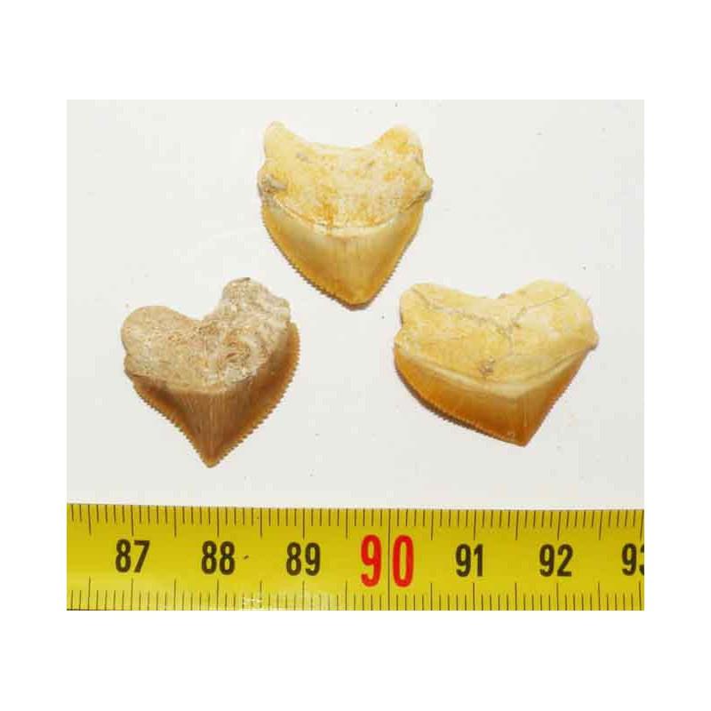 lot de 3 dents de requin Squalicorax Pristodontus ( 019 )