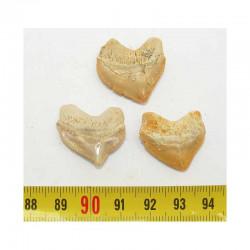 lot de 3 dents de requin Squalicorax Pristodontus ( 023 )