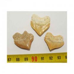 lot de 3 dents de requin Squalicorax Pristodontus ( 022 )