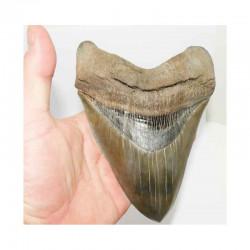 dent de requin Carcharodon megalodon ( 17.2 cms - LA 3 )