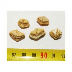 lot de 5 dents de Rhombodus binkhorsti ( 001)