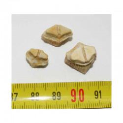lot de 3 dents de Rhombodus binkhorsti ( 002