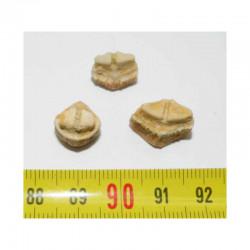 lot de 3 dents de Rhombodus binkhorsti ( 006
